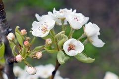 blomningpear Fotografering för Bildbyråer