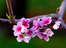 blomningpersika Arkivbilder