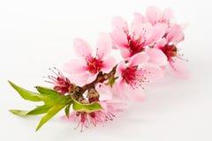 blomningpersika Royaltyfri Fotografi