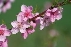 blomningpersika Royaltyfri Foto
