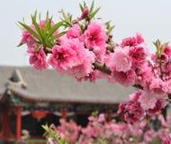 blomningpersika Royaltyfria Foton