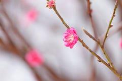 blomningpersika Royaltyfria Bilder