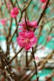 blomningpersika Royaltyfri Bild