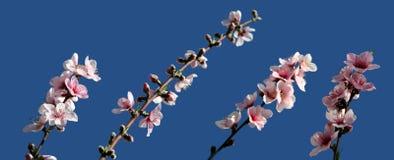 blomningpersika Arkivbild