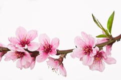 blomningpersika Arkivfoton