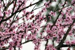 blomningpersikafjäder Arkivbild