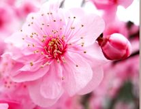 blomningpersikapink arkivfoton
