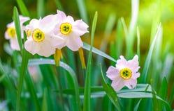 Blomningpingstlilja Fotografering för Bildbyråer