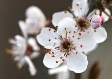 blomningplommon Royaltyfria Bilder