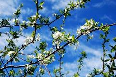 blomningplommon royaltyfri bild