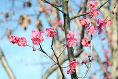blomningplommon Fotografering för Bildbyråer