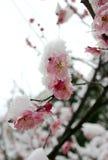 blomningplommon Arkivfoto