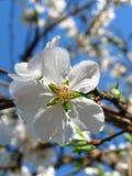 blomningplommon Royaltyfri Fotografi