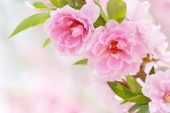 blomningplommon Royaltyfri Foto