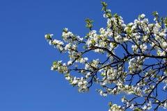 blomningplommonwhite royaltyfri foto