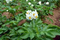 Blomningpotatisfält i sommarmånaden av Juli royaltyfri bild