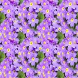 Blomningprimulabakgrund Blom- vårprimula blommar seamless textur seamless blom- modell Closeup av den blommande sprien Arkivfoton