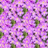 Blomningprimulabakgrund Blom- vårprimula blommar seamless textur seamless blom- modell Closeup av den blommande sprien Arkivbilder