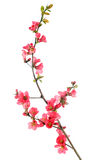 blomningquincered Royaltyfri Foto
