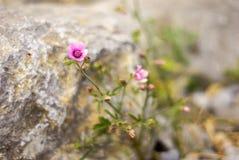 Blomningrosa färgblomma i en härlig dag Royaltyfri Fotografi