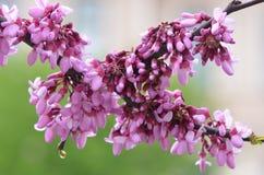 Blomningrosa färgblommor Arkivbild