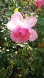 Blomningrosa färger Arkivbilder