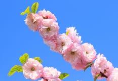 Blomningrosa färger sakura Fotografering för Bildbyråer