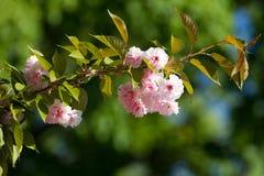 Blomningrosa färger sakura Royaltyfri Fotografi