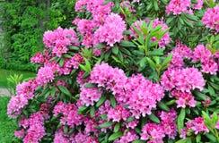 Blomningrosa färgrhododendron Arkivfoton