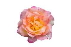 Blomningrosa färgrosor Royaltyfria Foton