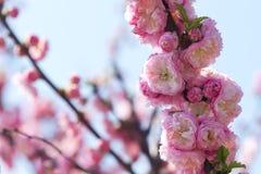 Blomningrosa färger sakura Royaltyfri Bild