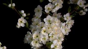 Blomningsakura blommor arkivfilmer