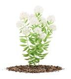 Blomningsedumväxt som isoleras på vit Fotografering för Bildbyråer