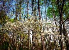 Blomningskogskornell fotografering för bildbyråer