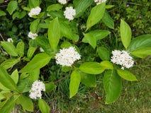 Blomningskogskornell, Cornussanguinea Royaltyfria Foton