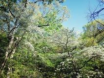 Blomningskogskornellträd royaltyfri fotografi