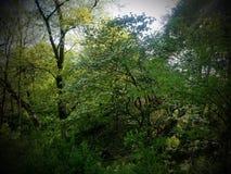 Blomningskogskornellträd arkivfoto