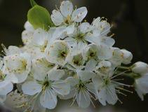Blomningslån, Prunusspinosa royaltyfri fotografi