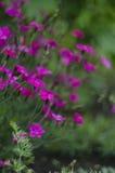 Blomningsmörblommablommor Arkivbilder