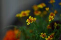 Blomningsmörblommablommor fotografering för bildbyråer