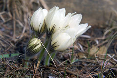 Blomningsnödroppar i träna Royaltyfria Foton