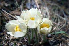 Blomningsnödroppar i träna Fotografering för Bildbyråer