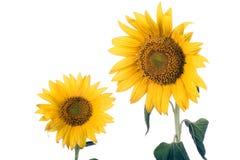 blomningsolros Fotografering för Bildbyråer