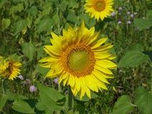 Blomningsolros Arkivfoton