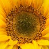 Blomningsolros Royaltyfri Bild