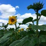 Blomningsolros på fält Arkivfoton