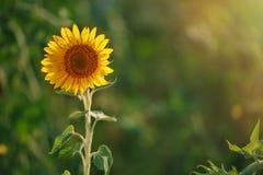 Blomningsolros Solros i fältet Royaltyfria Foton