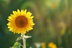 Blomningsolros Solros i fältet Fotografering för Bildbyråer