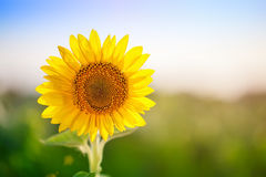 Blomningsolros Solros i fältet Arkivfoto