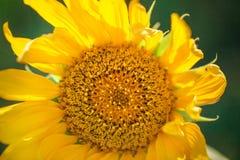 Blomningsolros Solros i fältet Royaltyfri Bild